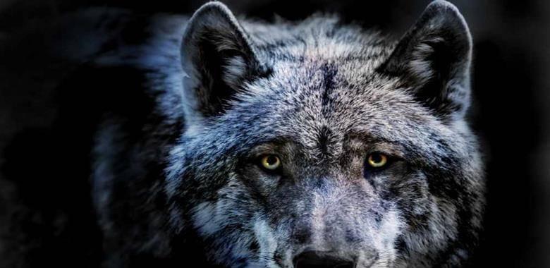 Człowiek - wilk