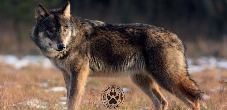Informacja dotycząca postępowania w przypadku pojawienia się wilków